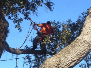 Tree removal Palm Harbor Florida
